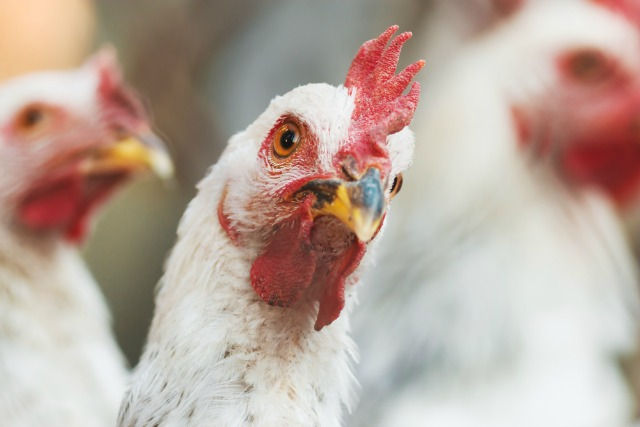 Nervous chickens may hold the answer for treating schizophrenia in humans